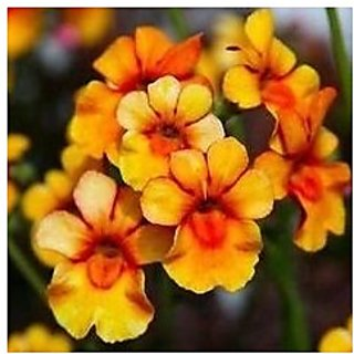 Flower Seeds : Nemesia Container Mix Flower Seeds Winter Hedge Garden (3 Packets) Garden Plant Seeds By Creative Farmer
