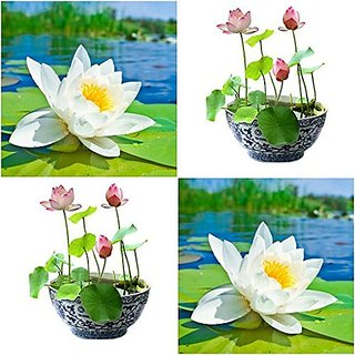 Aquatic Flower Seeds : White & Pink Lotus Seeds Seeds For Monsoon 15 Seeds- High Germination (13 Packets) Garden Plant Seeds By Creative Farmer