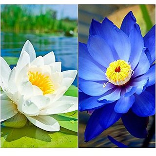 Aquatic Flower Seeds : Lotus Flower Seeds White & Blue Colors 15 Seeds- Greenhouse (19 Packets) Garden Plant Seeds By Creative Farmer