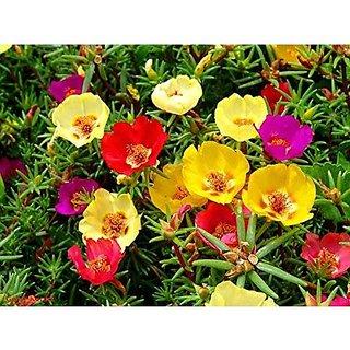Flower Seeds : Hybrid Purslane Thrives Garden Seeds Home Depot (19 Packets) Garden Plant Seeds By Creative Farmer