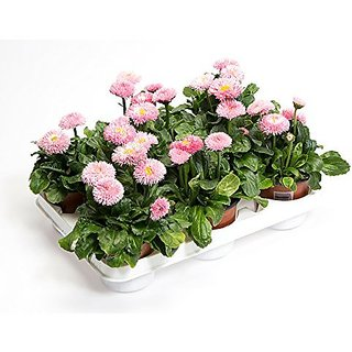 Flower Seeds : Daisy-Double Mixed For Nursery Plant (Seeds) (5 Packets) Garden Plant Seeds By Creative Farmer