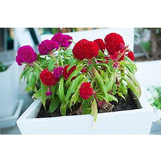 Flower Seeds : Celosia Cockscomb Dwarf Mix (Cristata Nana) Plant Flowers Seeds For Terrace And Kitchen Gardening (20 Packets) Garden Plant Seeds By Creative Farmer
