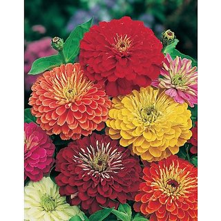 Flower Seeds : Zinnia Dahlia Flowered Mixed Hanging Flower Seeds Plant Seeds For Home (12 Packets) Garden Plant Seeds By Creative Farmer