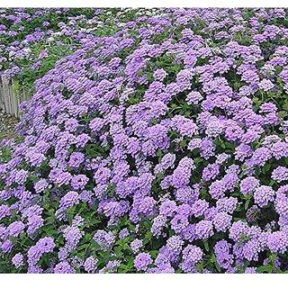 Flower Seeds : Vervain Blue Kitchen Garden Plant Seeds For House (13 Packets) Garden Plant Seeds By Creative Farmer