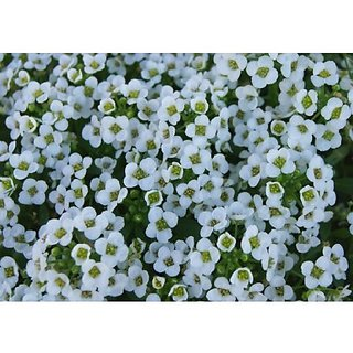 Flower Seeds : Alyssum Wonderland White Live Plant Seeds (3 Packets) Garden Plant Seeds By Creative Farmer