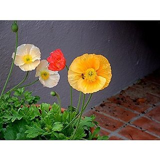 Flower Seeds : California Poppy Cup Of Gold Plant Seeds For All Season Plants Seeds For Balcony (11 Packets) Garden Plant Seeds By Creative Farmer