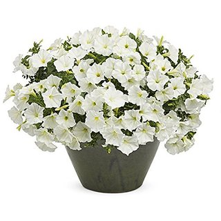 Flower Seeds : Petunia-Snowball White Op Seed Packet (6 Packets) Garden Plant Seeds By Creative Farmer
