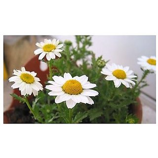 Flower Seeds : Chrysanthemum-Multicaul White Flower Seed For Terrace And Kitchen Gardening (6 Packets) Garden Plant Seeds By Creative Farmer