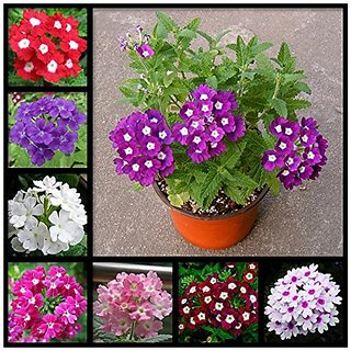 Flower Seeds : SimplerS Joy Mix Flower Seeds Packets Best Germination (5 Packets) Garden Plant Seeds By Creative Farmer