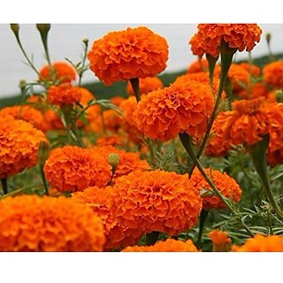 Flower Seeds : Marigold-Hawaii Orange Flower Seed Growing Hybrid Seed (18 Packets) Garden Plant Seeds By Creative Farmer