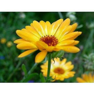 Flower Seeds : Pot Marigold Yellow Garden For Flowers (3 Packets) Garden Plant Seeds By Creative Farmer