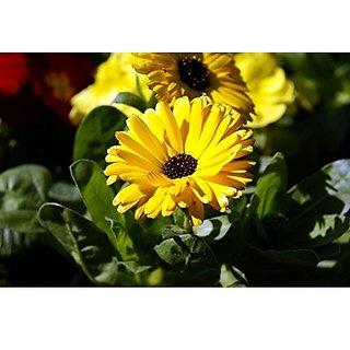 Flower Seeds : Gulsarfi Calendula Flower Seeds Gift Basket Flower Seeds For All Season (3 Packets) Garden Plant Seeds By Creative Farmer
