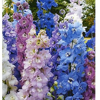 Flower Seeds : Larkspur Buttercup Family Flower Seeds For Balcony (16 Packets) Garden Plant Seeds By Creative Farmer