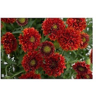 Flower Seeds : Indian Blanket Pulchella Flower Flower Seeds For Basket Plant Seeds For All Seasons (11 Packets) Garden Plant Seeds By Creative Farmer