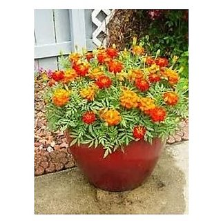 Flower Seeds : French Marigold Flower Mixed Variety Pot Suitable (11 Packets) Garden Plant Seeds By Creative Farmer