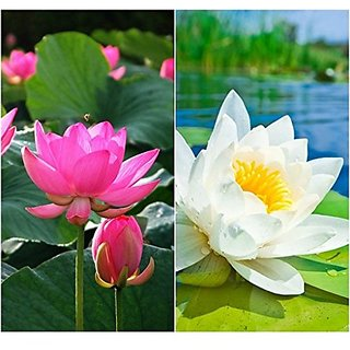 Flower Seeds : Lotus Flower Seeds Pink & White Colors Flower Seeds For 15 Seeds- Winter Flower Seeds For Home Garden (20 Packets) Garden Plant Seeds By Creative Farmer