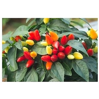 Ornamental Seeds : Ornamental Capsicum Seeds For Kitchen Garden Winter Season Flower Plant Seeds (19 Packets) Garden Plant Seeds By Creative Farmer