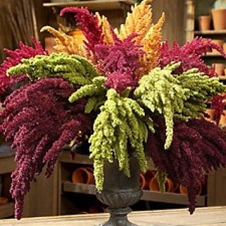 Flower Seeds : Amaranthus Pygmy Torch Dwarf Mix Plant Seeds For Home Decor (6 Packets) Garden Plant Seeds By Creative Farmer