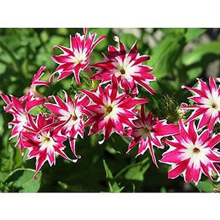 Flower Seeds : Phlox Twinkle Mix Gardening Seeds (20 Packets) Garden Plant Seeds By Creative Farmer