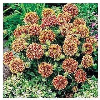Flower Seeds : Gaillardia-Aristata Mix Flower Seeds Hybrid Seeds Balcony Pot Flower Plant Seeds (12 Packets) Garden Plant Seeds By Creative Farmer