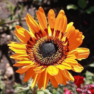 Flower Seeds : Cape Daisy Seeds Exotic Seeds (25 Packets) Garden Plant Seeds By Creative Farmer