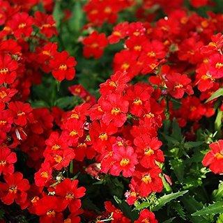 Flower Seeds : Nemesia Strumosa Seeds Flower Seeds Flower (11 Packets) Garden Plant Seeds By Creative Farmer