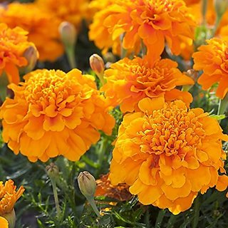 Flower Seeds : Marigold Seeds Mixed Color Double Flower Garden Flower Seeds Suitable For All Climate (17 Packets) Garden Plant Seeds By Creative Farmer