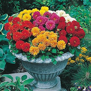 Flower Seeds : Dahlia Hortensis Kitchen Garden Hybrid Seed Packet (20 Packets) Garden Plant Seeds By Creative Farmer