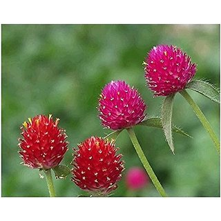 Flower Seeds : Gomphrena Globosa Shrub (Herbaceous) Gardening Seeds (18 Packets) Garden Plant Seeds By Creative Farmer