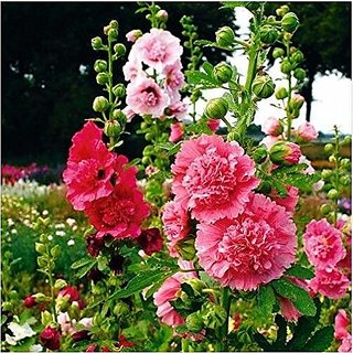Flower Seeds : ChaterS Double Hollyhock Imported Seed Packet (11 Packets) Garden Plant Seeds By Creative Farmer
