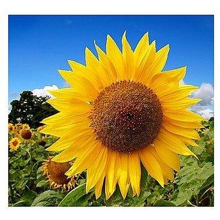 Flower Seeds : Sunflower Russian Giant- Helianthus Annuus Garden Path (25 Packets) Garden Plant Seeds By Creative Farmer