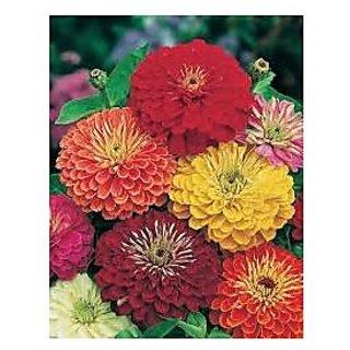 Flower Seeds : Zinnia Hybrid Double Mixed Seeds Garden Seeds Flowers Exotic Flower Seeds (6 Packets) Garden Plant Seeds By Creative Farmer