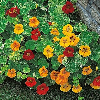 Flower Seeds : Nasturtiums Cool-Season Annual Flowers Plant Seeds For All Season Climber Plant Seeds- Air Purifying Plant Seeds (18 Packets) Garden Plant Seeds By Creative Farmer