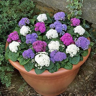 Flower Seeds : Ageratum Balls Mix Flower Seeds For India Plant Seeds For Home Decor (14 Packets) Garden Plant Seeds By Creative Farmer