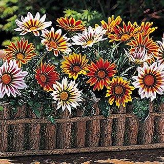 Flower Seeds : Gazania Dwarf Mixed Flower Seeds - Kitchen Garden Pack by Creative Farmer