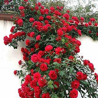Creative Farmer Rose Tree Bonsai Suitable Seeds (Pack of 5)