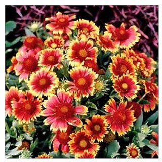 Flower Seeds : Great Blanketflower Flower Seeds Seeds Balcony Pot Flower Plant Seeds (11 Packets) Garden Plant Seeds By Creative Farmer