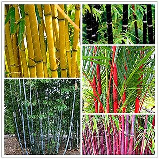 Bamboo Combo Pack - All In One Pack Bamboo Seeds Garden Pack By Creative Farmer