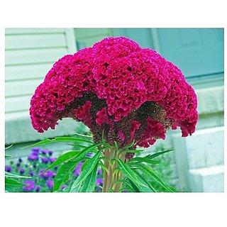 Creative Farmer Flower Seeds : Celosia Cockscomb Dwarf Mix (Cristata Nana) Flower Seeds For Garden - Kitchen Garden Pack