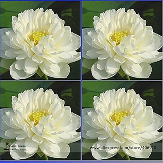 Flower Seeds : White Lotus Seeds Seeds Hybrid 15 Seeds- Seeds For Germination (6 Packets) Garden Plant Seeds By Creative Farmer