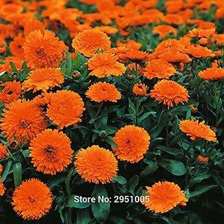 Flower Seeds : Gulsarfi Hybrid Seeds Organic Seeds (10 Packets) Garden Plant Seeds By Creative Farmer