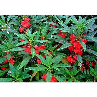 Flower Seeds : Gul Mehndi Flower Seeds Winter Garden Seeds Home Depot (11  Packets) Garden Plant Seeds By Creative Farmer