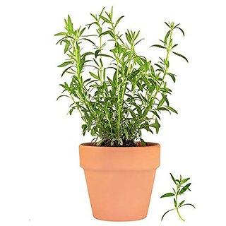 Herb Heirloom - Herb Seeds Tarragon Russian Indoor Kitchen Garden Pack by Creative Farmer