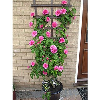 Creative Farmer Beginners Climbing Rose Bonsai Suitable Seeds