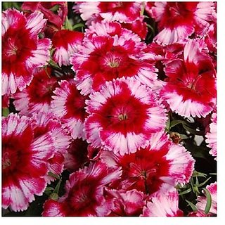 Flower Seeds : Dianthus Lemon Fizz Flower Seeds For India Garden Seeds Home Depot (19 Packets) Garden Plant Seeds By Creative Farmer
