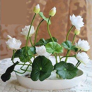 Airex Lotus Flower Seeds (Pack Of 6+6 Lotus Seeds) 2 Packet Of Lotus Flower Seeds