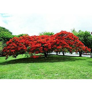 Creative Farmer Flowering Tree - Shade Trees For Playgrounds- Gulmohar - 10 Seeds