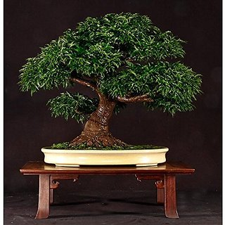 Bonsai Suitable Plant Java Palisandre - Beete -Satisal Bonsai Suitable Tree Seeds For Home Garden-By Creative Farmer