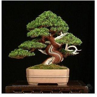 Creative Farmer Imported Juniper or Juniperus Chinensis Bonsai Suitable Seeds