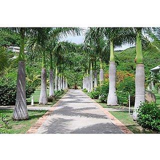 Creative Farmer Royal Palm or Roystonea Regia Seeds (Pack of 20 Seeds)